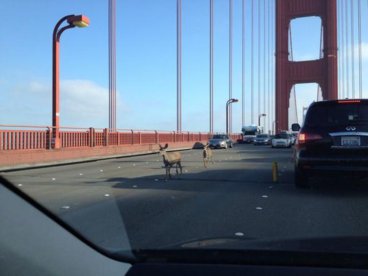 Two-Deers-Took-A-Stroll-Across-The-Golden-Gate-Bridge-During-The-Peak-Hours