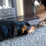 This-Big-Tough-Guard-Dog-Is-Trying-To-Play-With-A-Tiny-Kitten-So-Adorable