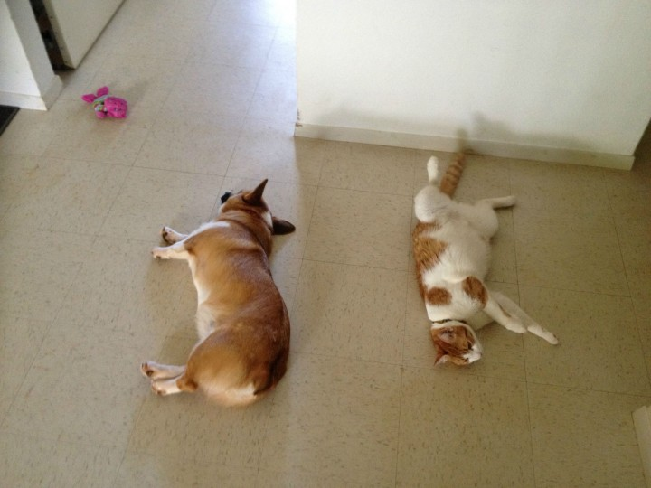 This Corgi Best Friend Is A Cat They Are Adorably Cute Together-09