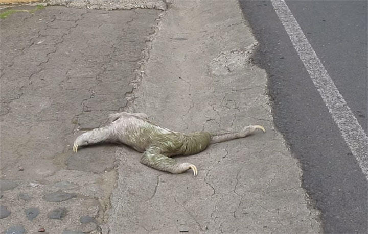 Sloth Gets A Helping Hand From A Kind Man To Cross The Road